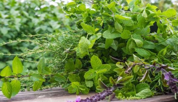 Natürlich gesund: Basiswissen Gartenkräuter